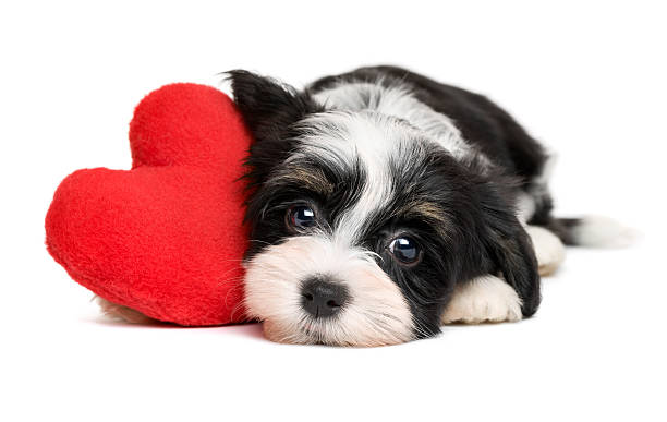 Havanese puppy dog with a red heart
