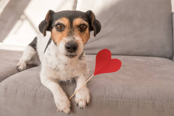 Romantic Jack Russell Terrier dog. Lovable dog is holding a heart to the Valentine's Day in the mouth Cute romantic Jack Russell Terrier dog. Lovable dog is holding a heart to the Valentine's Day in the mouth dog heart