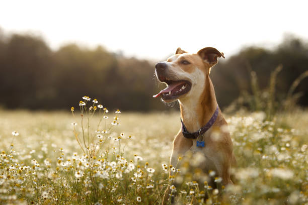 Happy American Staffordshire Terrier sitting in a field of daisies with it's tongue out and sunbathing.