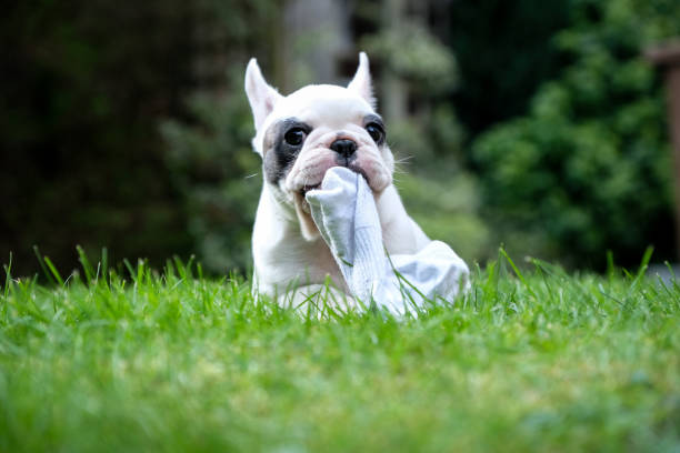 8 weeks old Pied French Bulldog puppy chewing on sock in the graden Close up of Pied French Bulldog puppy chewing on a piece of sock dog sock stock pictures, royalty-free photos & images