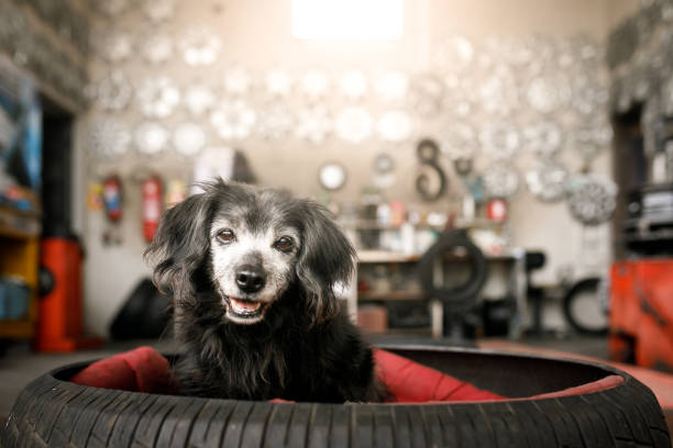 Black long haired dog sitting in a tire bed, posting for a portrait inside a living room