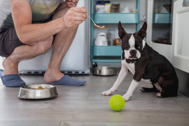 Boston Terrier refusing food being fed to him on a spoon by his owner