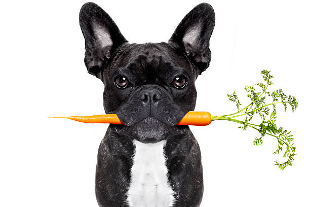 French Bulldog holding carrot in his mouth