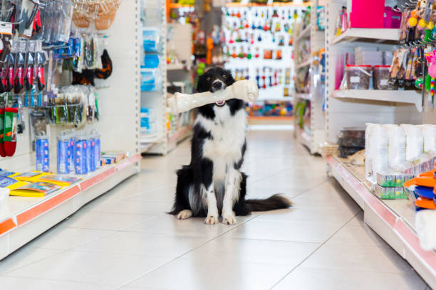 Cute Border Collie in pet store with big dog bone Cute Border Collie in pet store with big dog bone sitting in the toy aisle