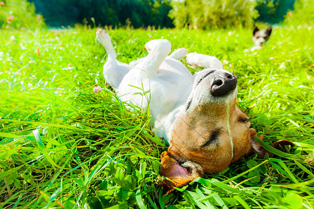 dog siesta at park jack russell dog relaxing and resting on grass meadow at the park outdoors and outside on summer vacation holidays dog stock pictures, royalty-free photos & images