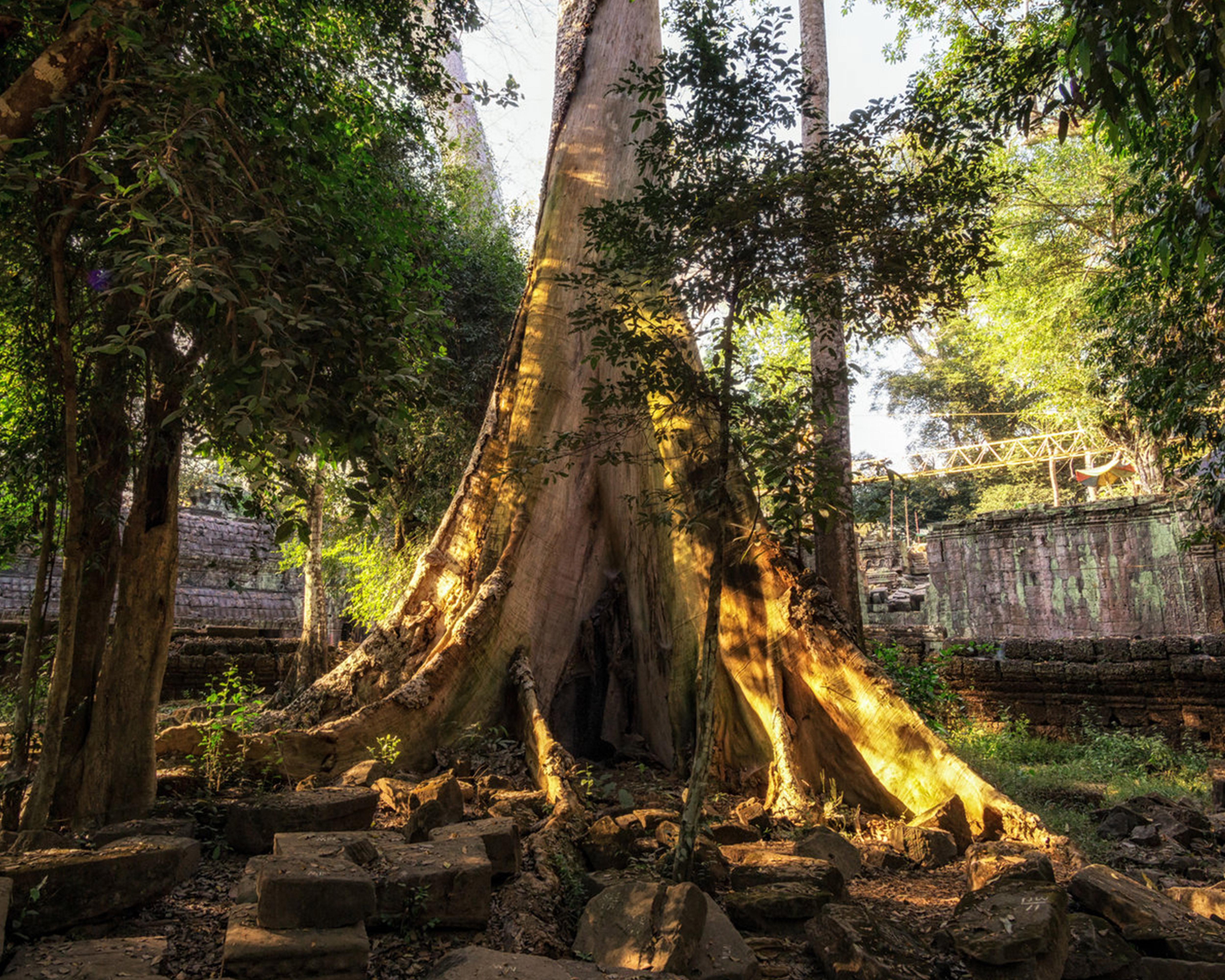Sustainable Plants Kapok Tree