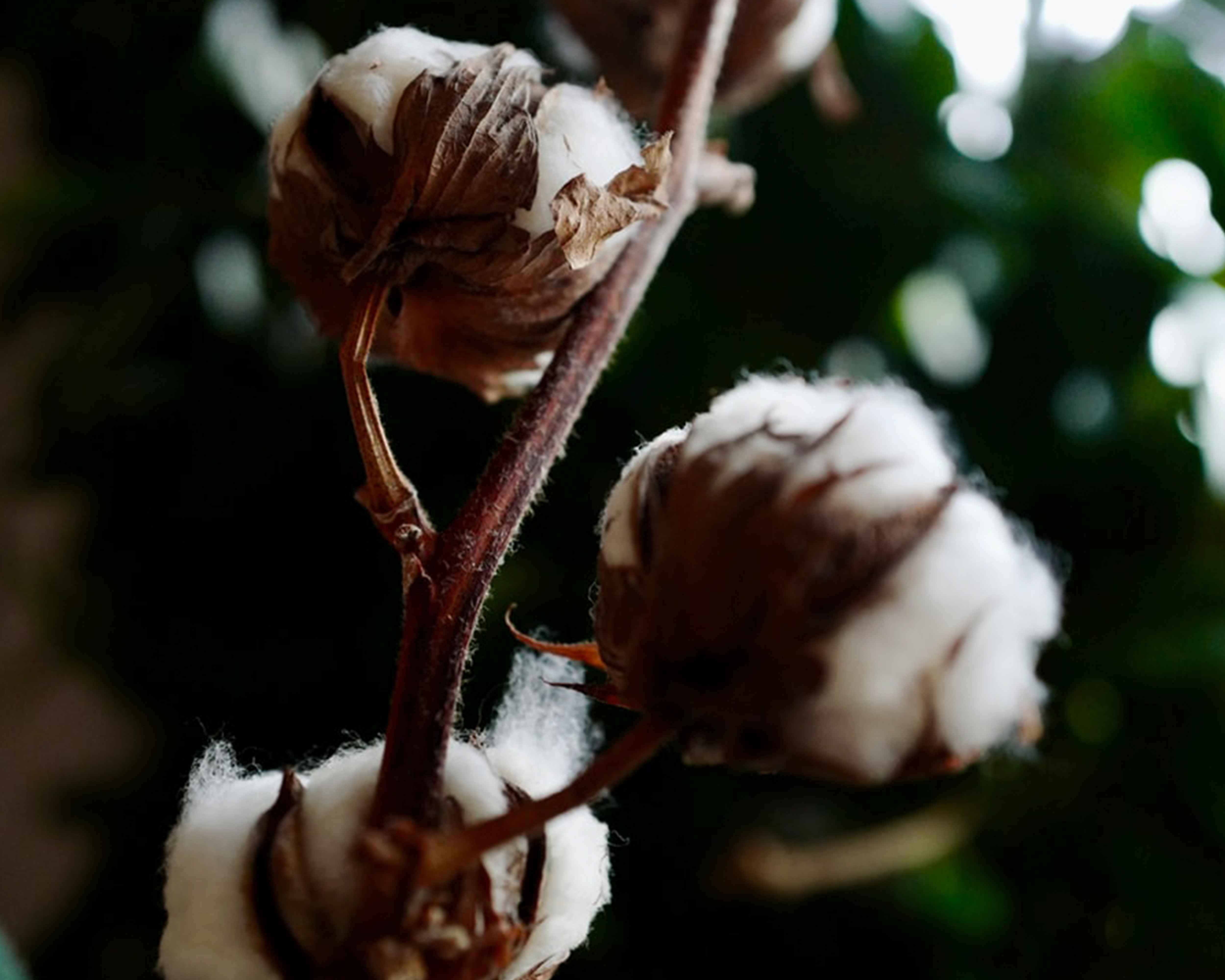 organic cotton field