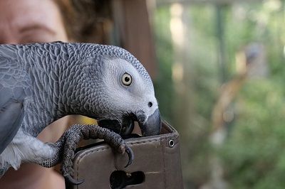 beautiful grey  parrot | Branford vet hospital