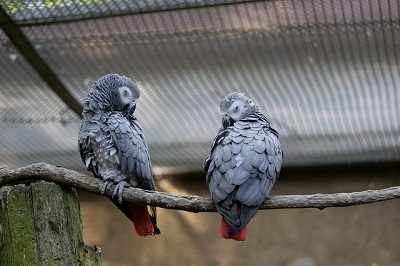 lovely African grey parrots | East shore vet