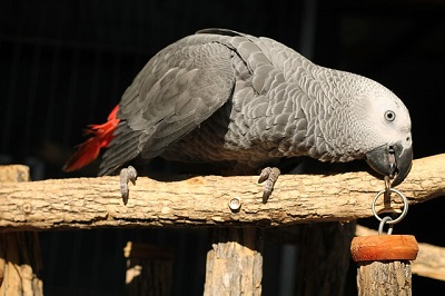 African grey parrot |  East shore vet