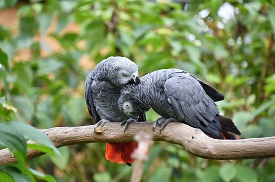 couple grey parrot