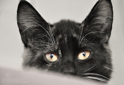 black cat looking | Animal wellness center