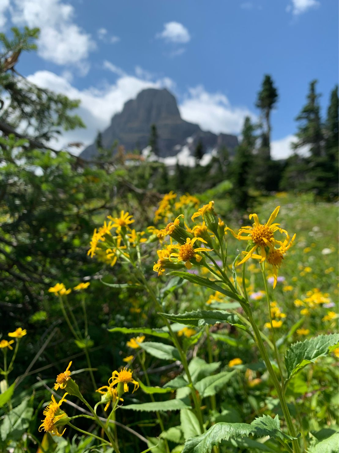Glacier National Park Yellow Flower Mountains