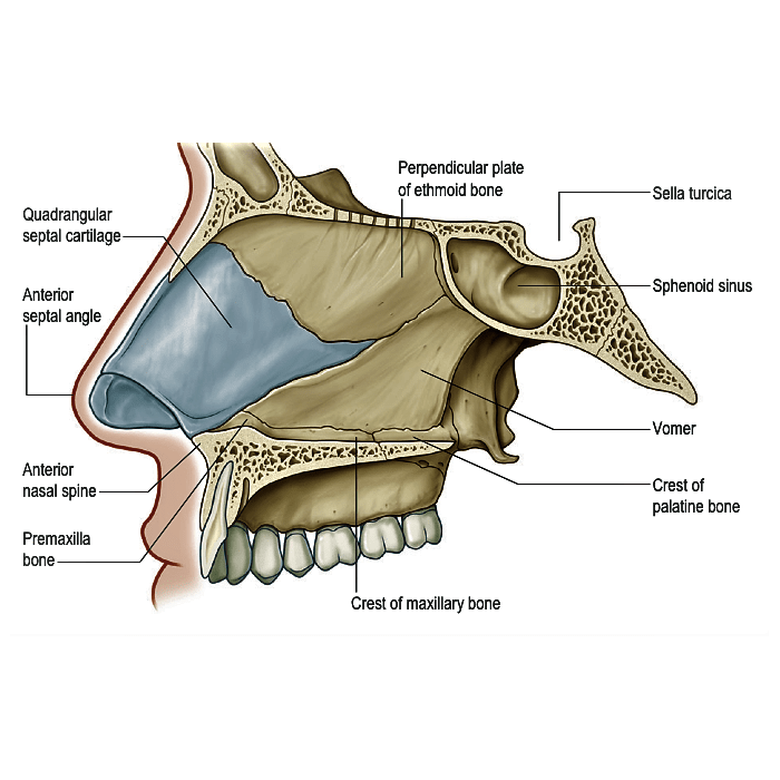 Nasal Cartilages