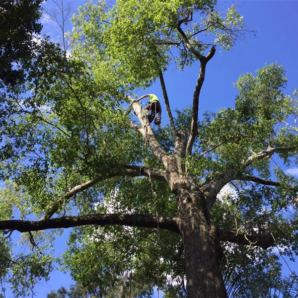 Tree trimming in Orlando, FL