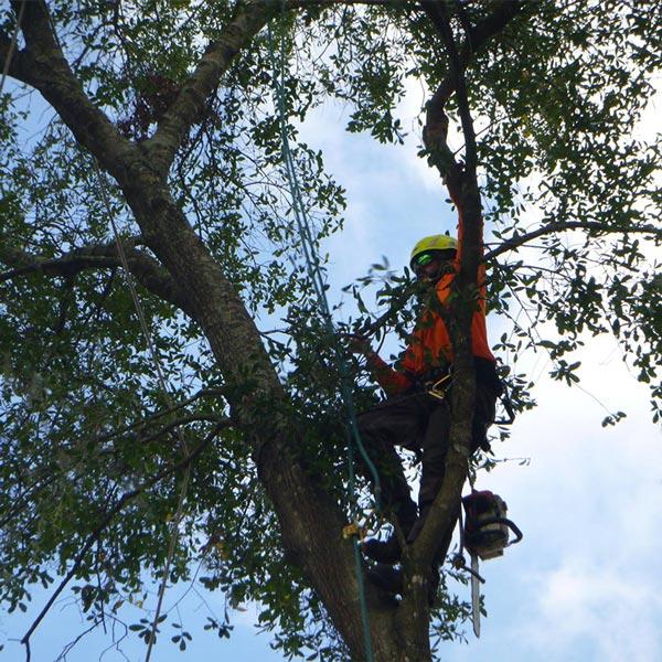Tree bracing in Orlando, FL