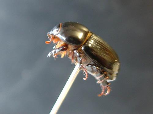 Black Beetle – Adult