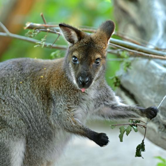 Rødhalset wallaby