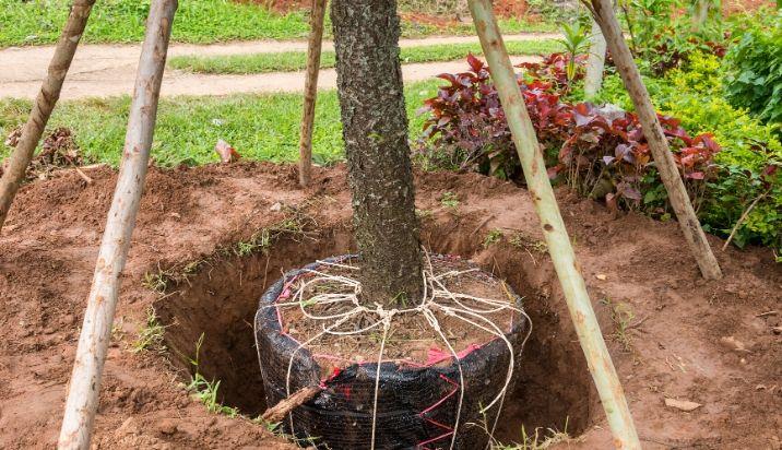 tree-service-transplanting-planting