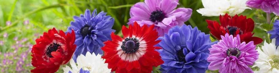anemone-bulbs