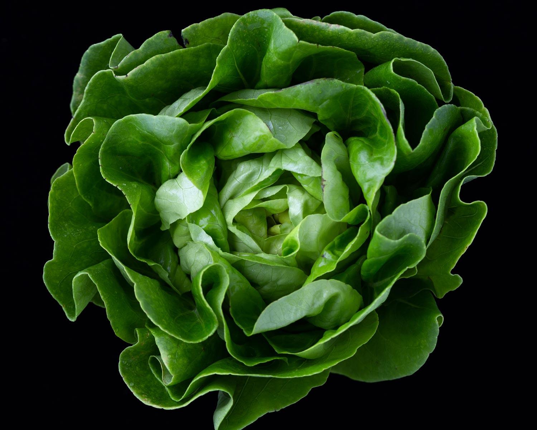 Photo of Romaine lettuce.