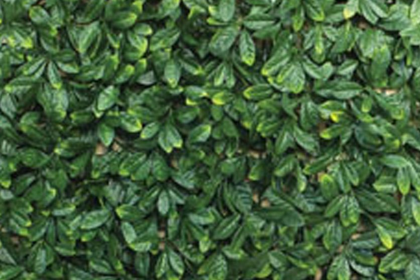 Hedge Tile 'Laurel'