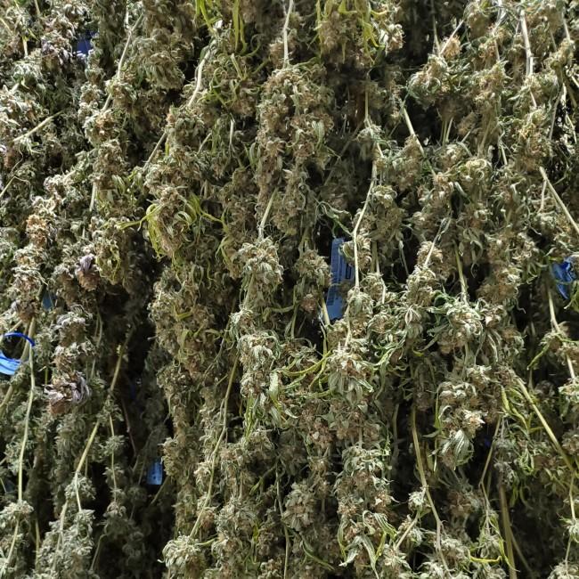 Buds drying