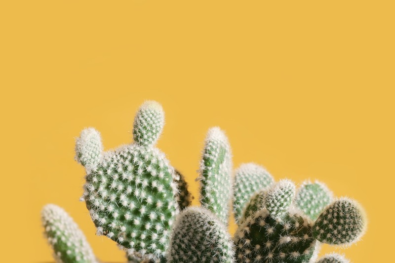 cactus with yellow background