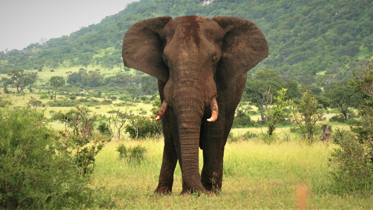 Large Elephant amongst barren barren land in South Africa
