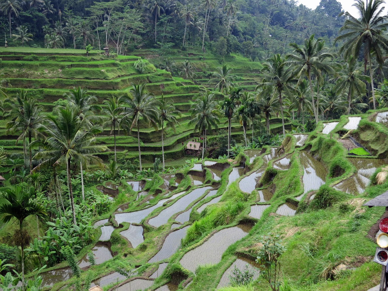 Rice terraces in Bali, Indonesia with many palm trees