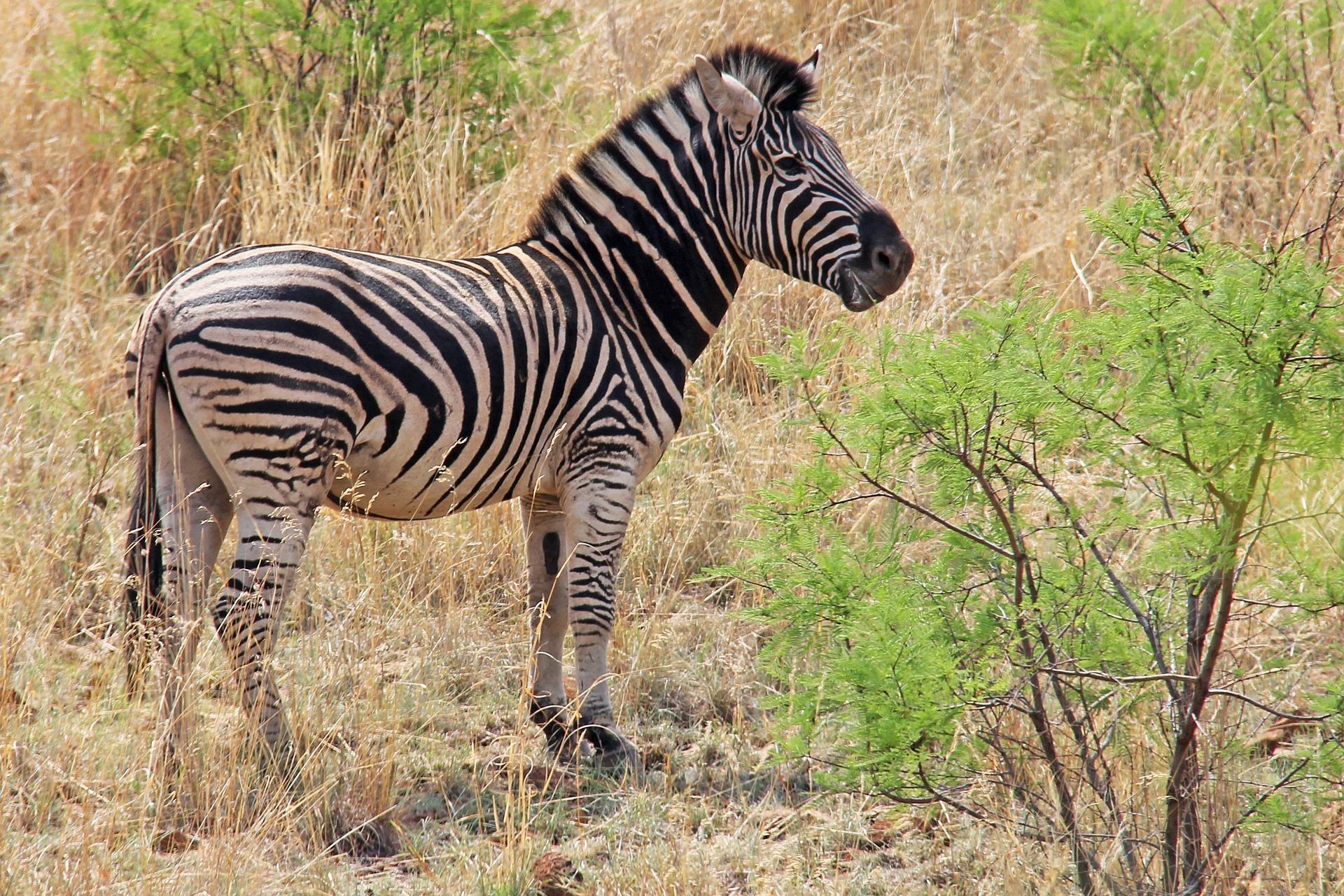 Zebra on a safari in South Africa