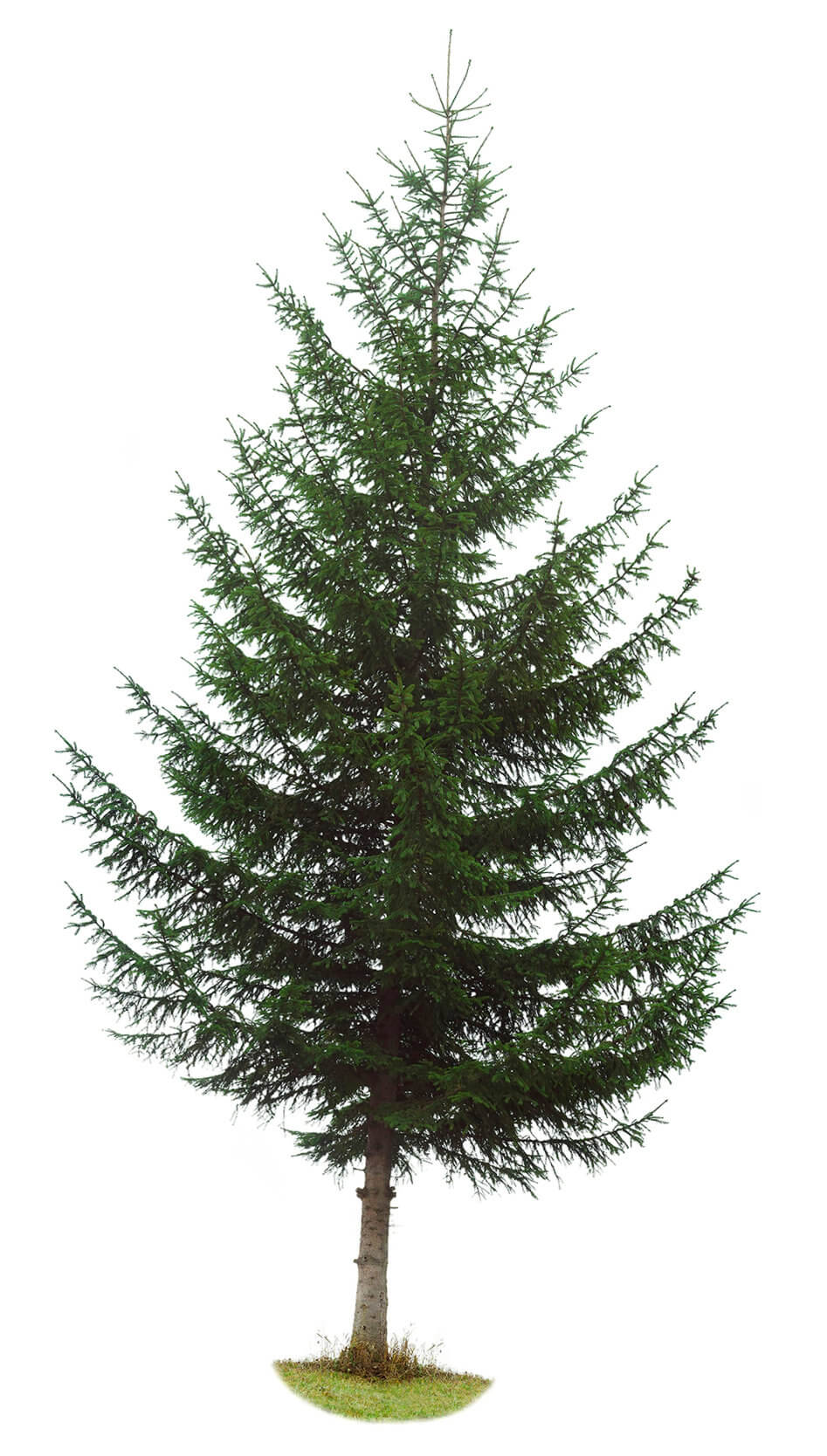 Large evergreen tree
