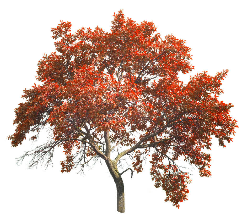 Tree with red fall leaves
