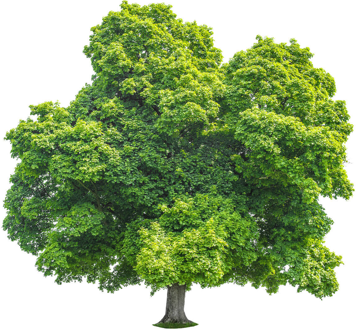 Green Maple Tree