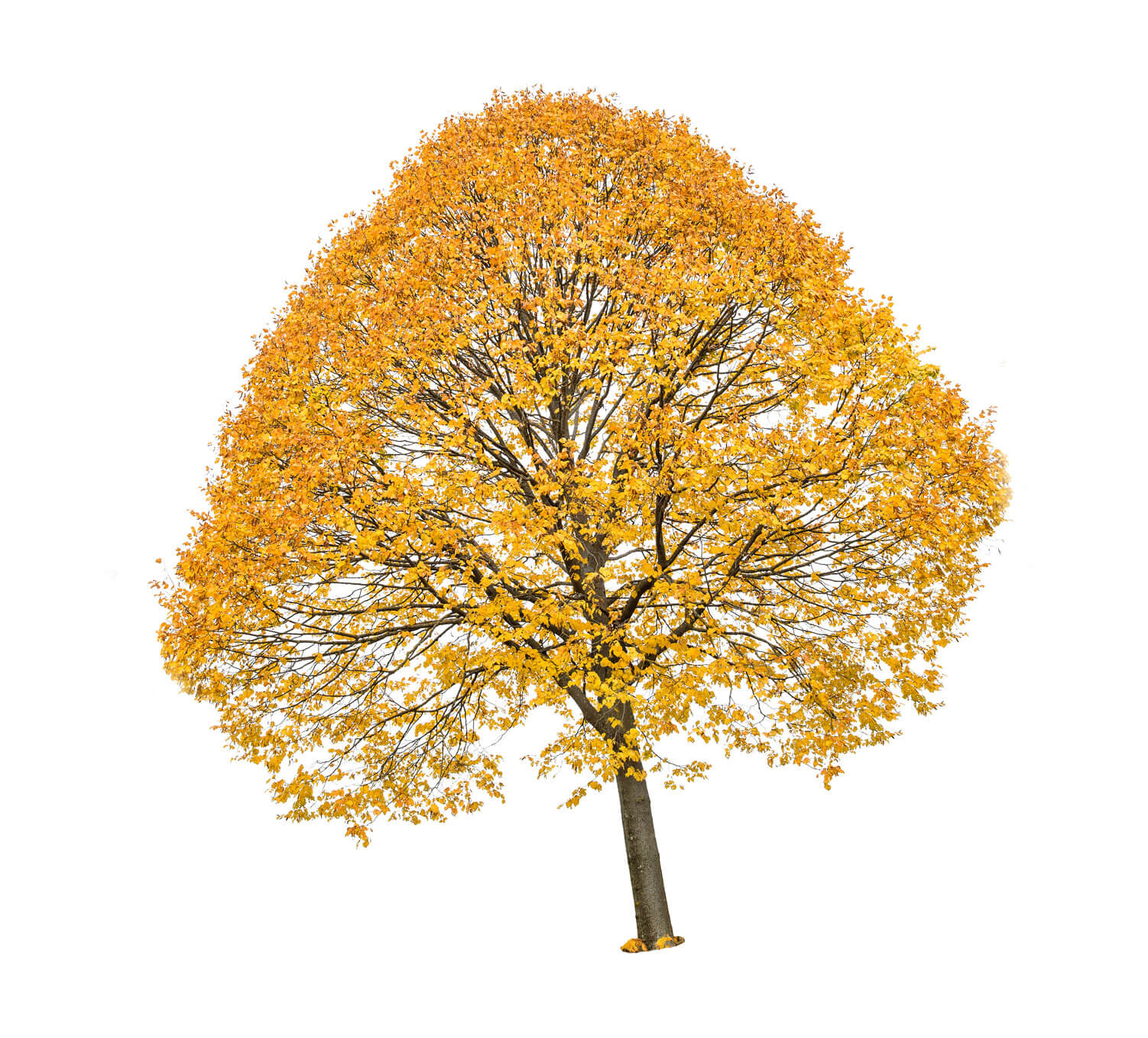 Maple Tree with yellow fall leaves