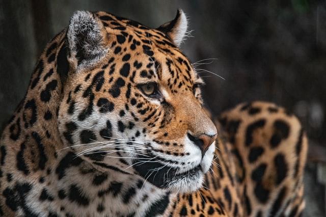 Bild eines Jaguars.