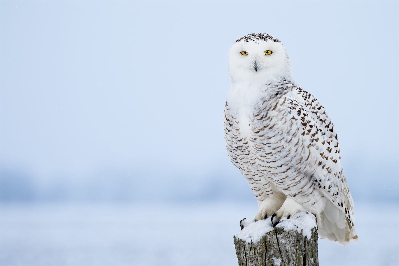 A perched snowy owl