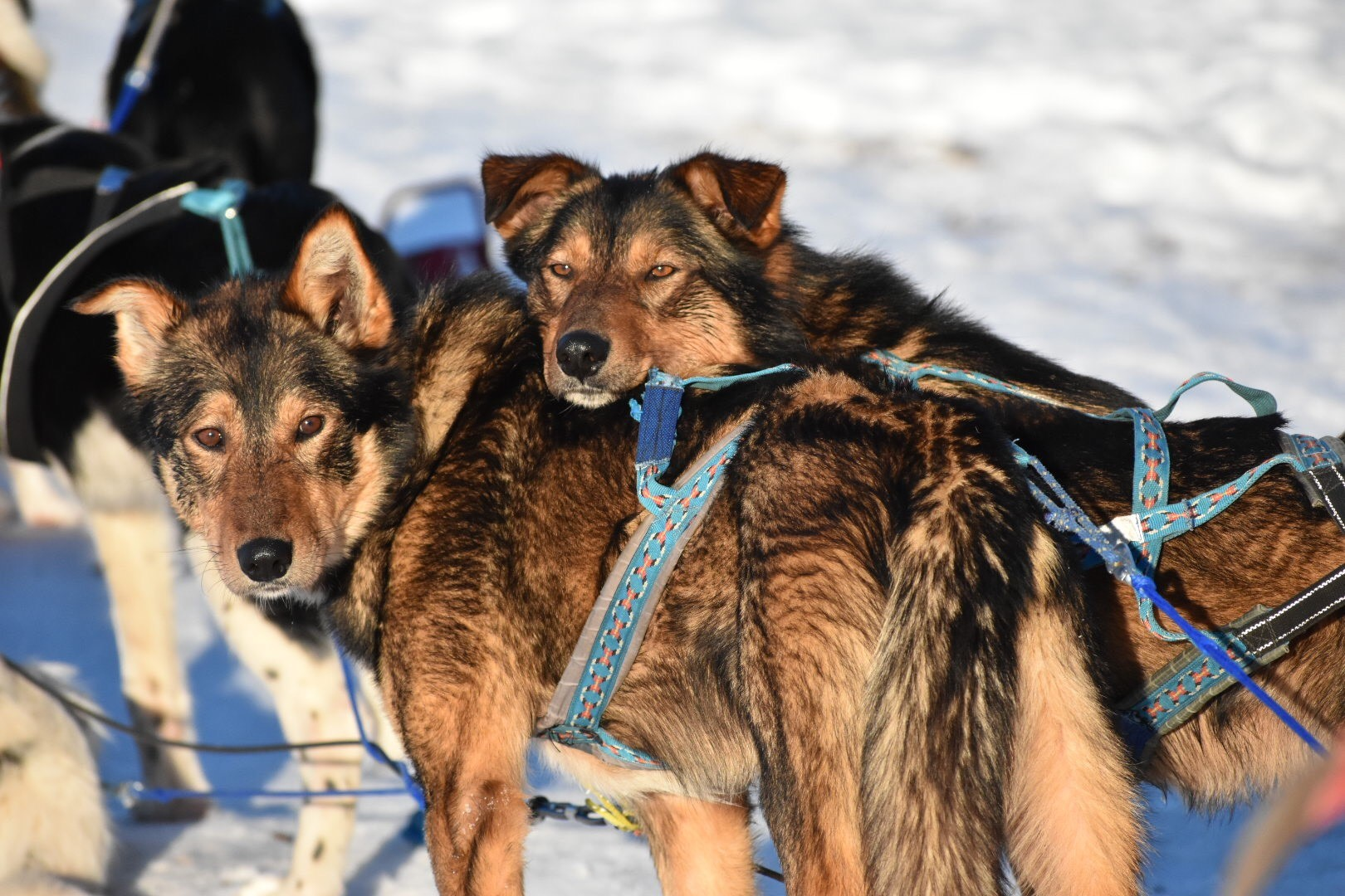 Picture of dogs dogsledding.