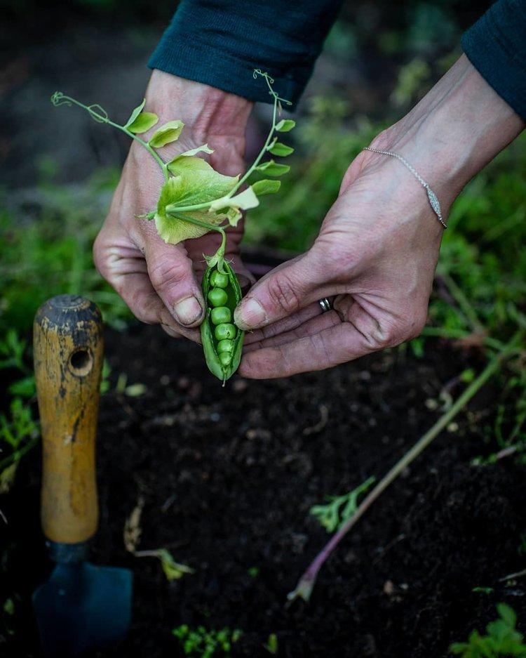 colhendo ervilhas frescas do jardim