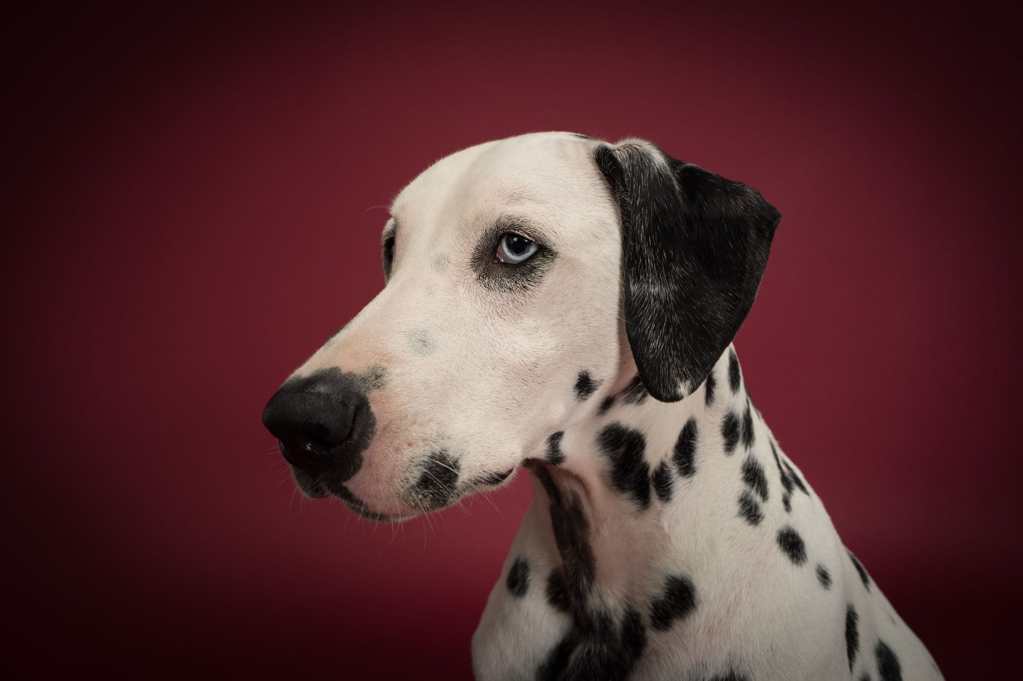 Charlie the Dalmatian in profile
