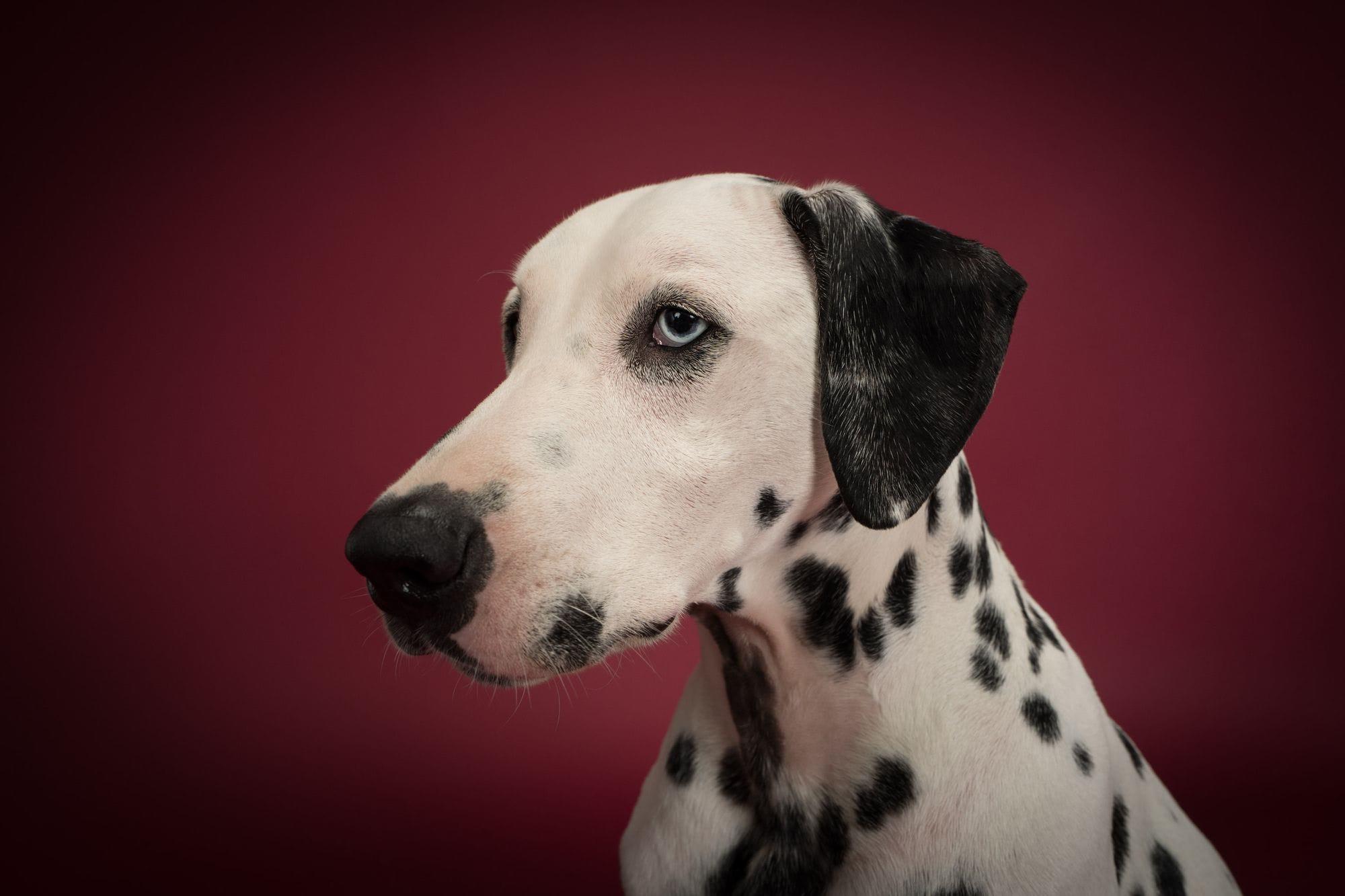 Charlie the Dalmatian in profile