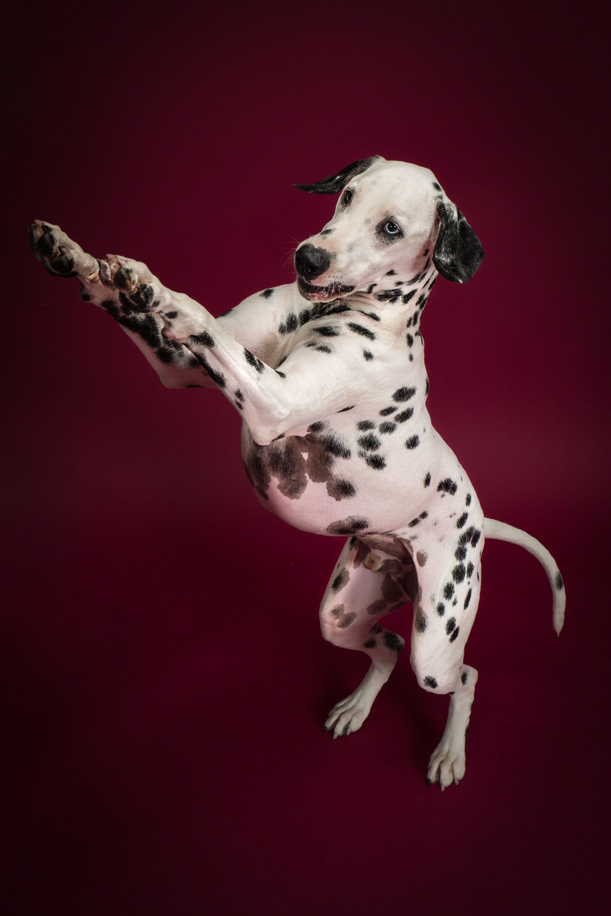 Charlie the dalmation Jumping towards his mom for a treat.