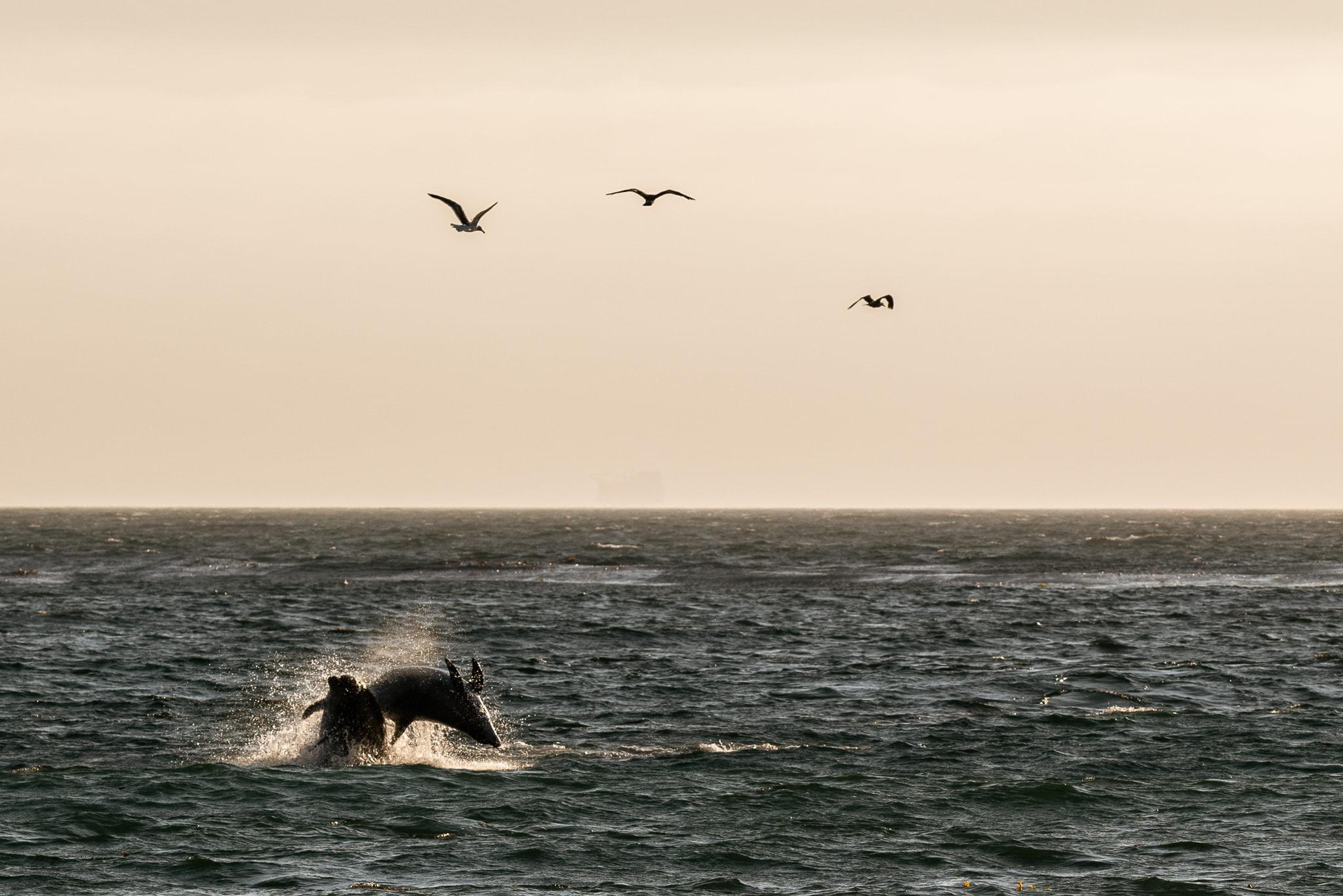 Dolphins feasting on fish near shore Jalama beach.