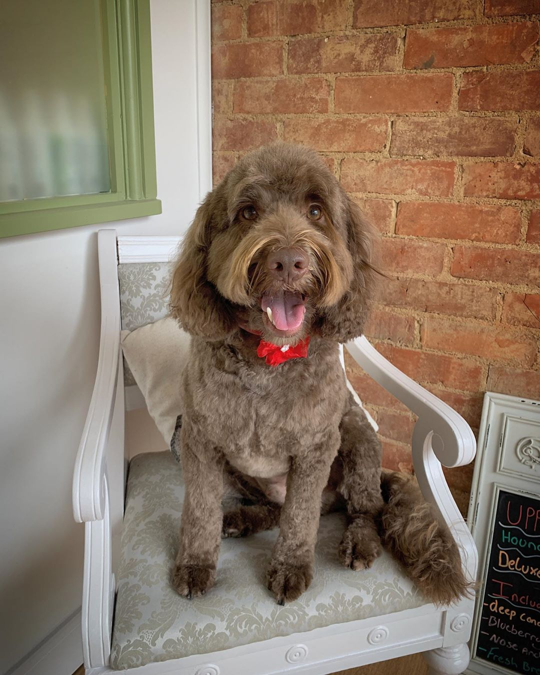 Brown Cockapoo Full Groom