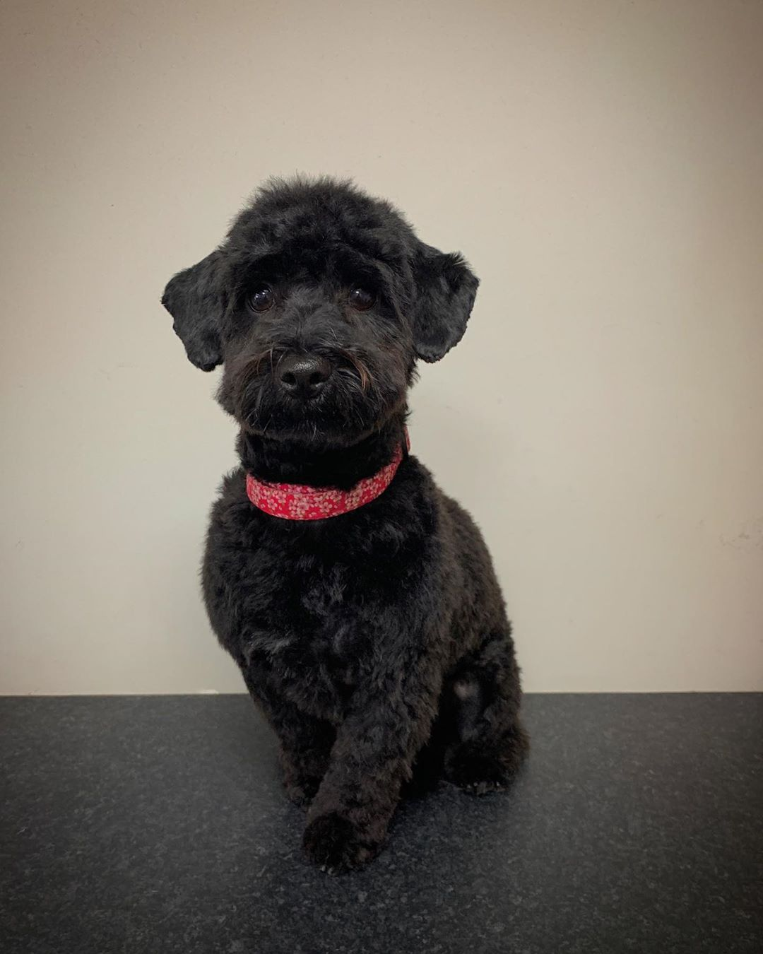 Black Cockapoo Full Groom