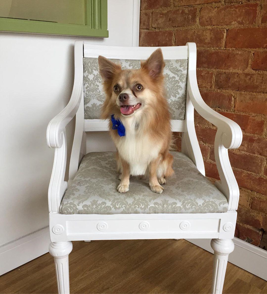 Chihuahua Full Groom