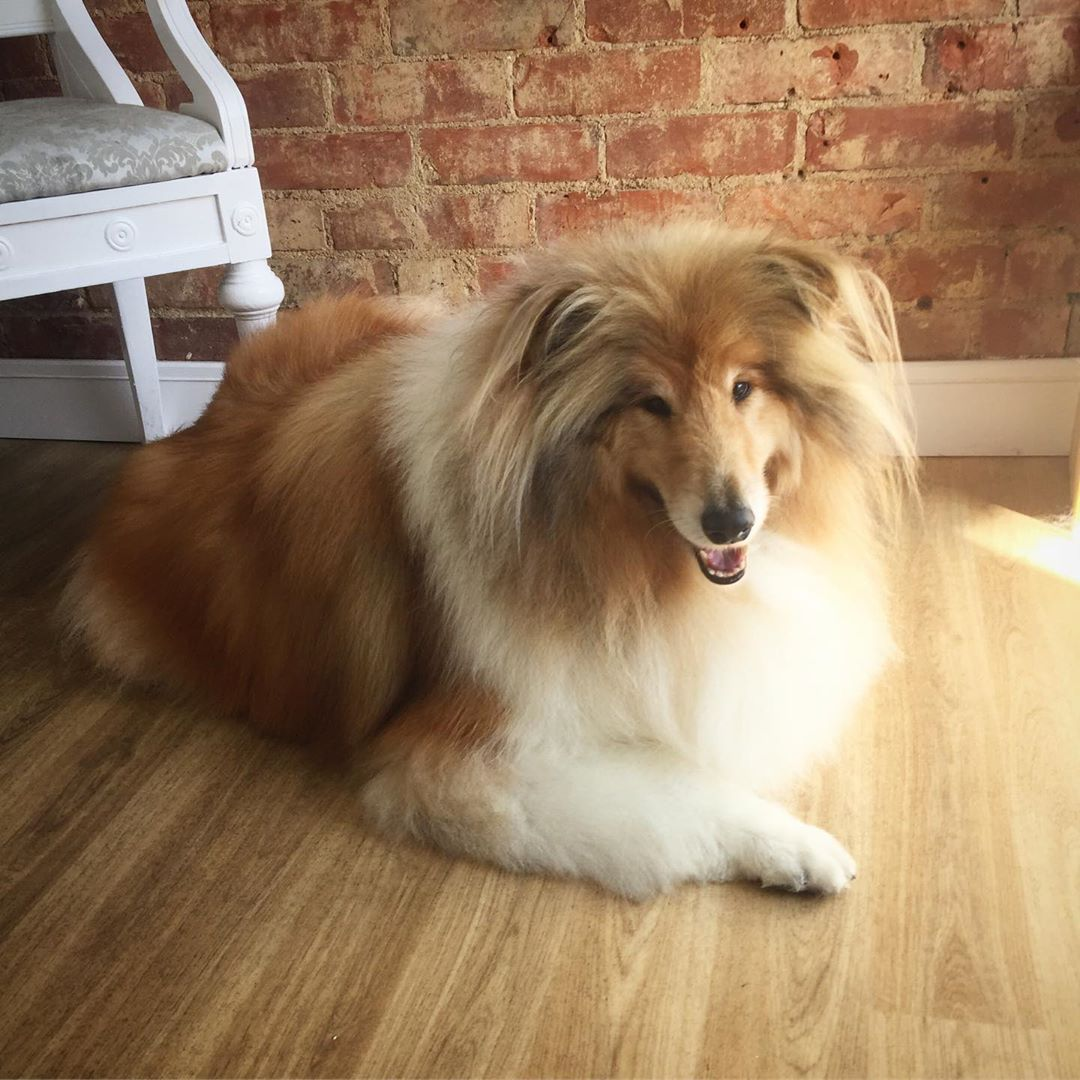 Rough Collie Full Groom