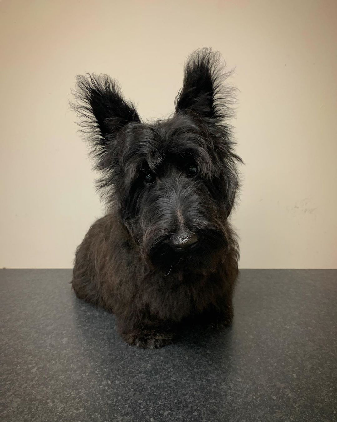 Scottish Terrier First Groom