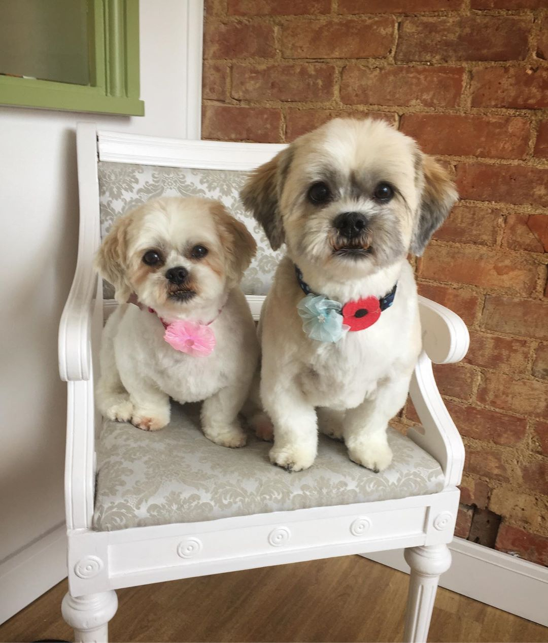White Shih Tzu Full Groom