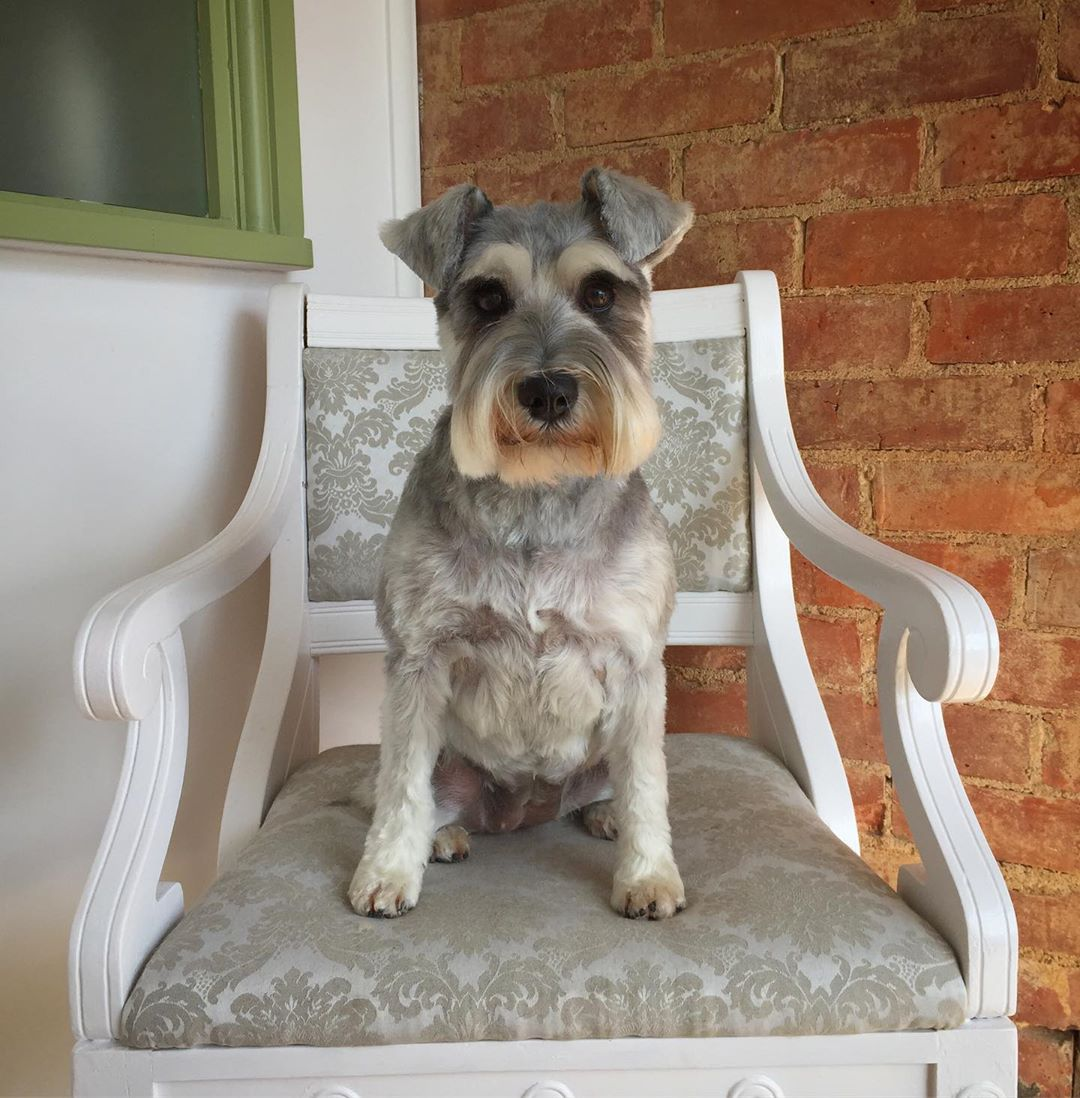 Grey Schnauzer Full Groom